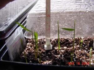 Dendrocalamus strictus seed