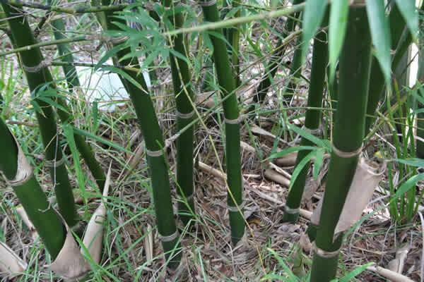 Bamboo Propagation Info