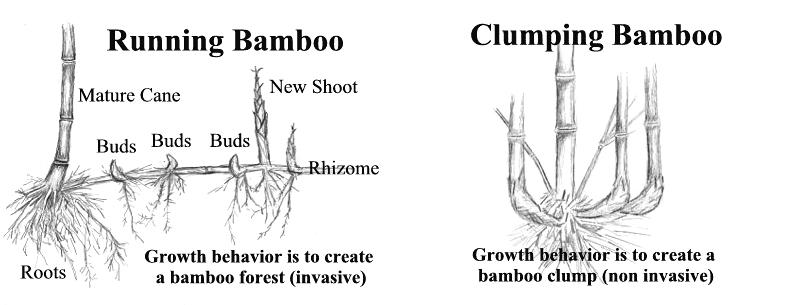 Bamboo Taxonomy