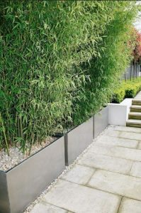 bamboo hedge in planters