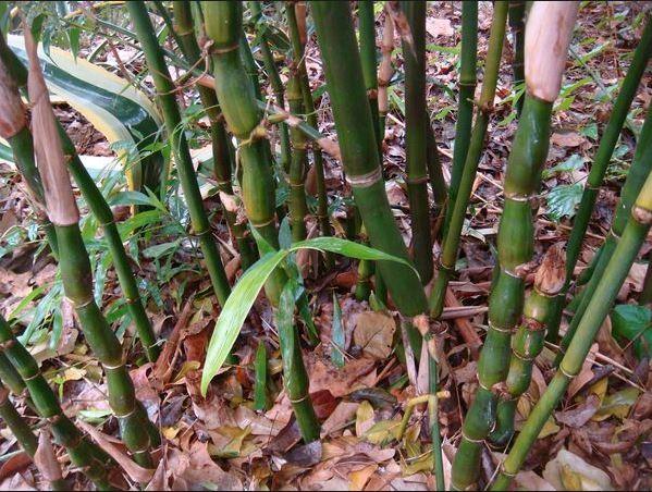 Bamboo Torture - Bamboo Propagation