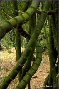 grow a twisted bamboo