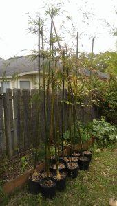 florida bamboo