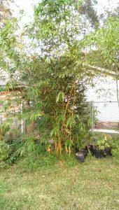 grow bamboo in florida