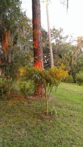 how to grow bamboo in florida