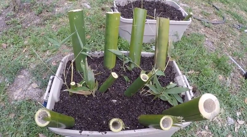 grow and propagate bamboo culm cuttings